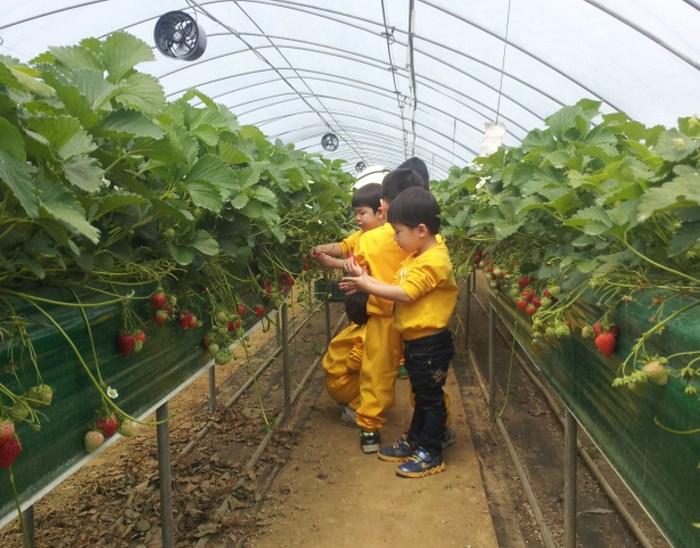 Kebun Uncle Strawberry