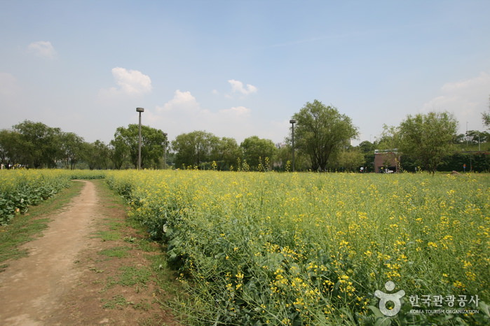 Festival Bunga Kanola Hangang Seoraeseom