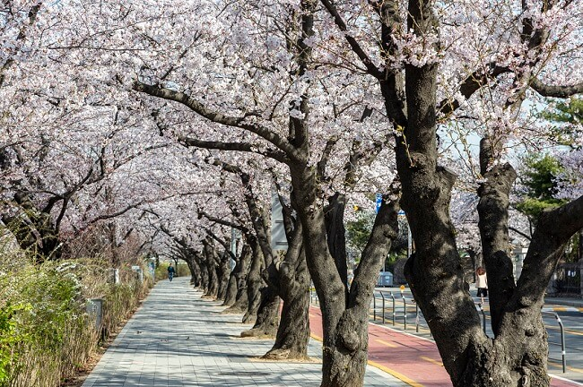 Festival Bunga Musim Semi Yeouido Yeongdeungpo 2021