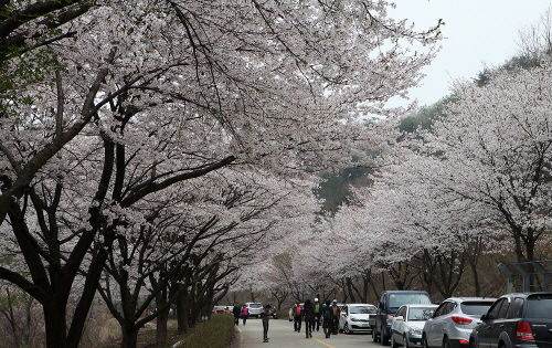 Festival Cherry Blossom Silk Town Mountain