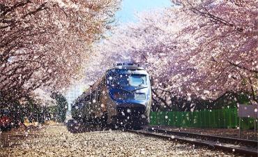 Wisata Cherry Blossom di Festival Gunhangje Jinhae