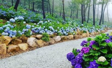 Melihat Hydrangea Cantik di Festival Hydrangea Ttangkkeut