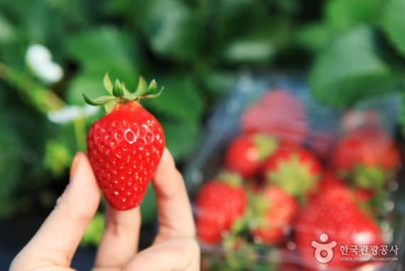 Festival Strawberry Yangpyeong