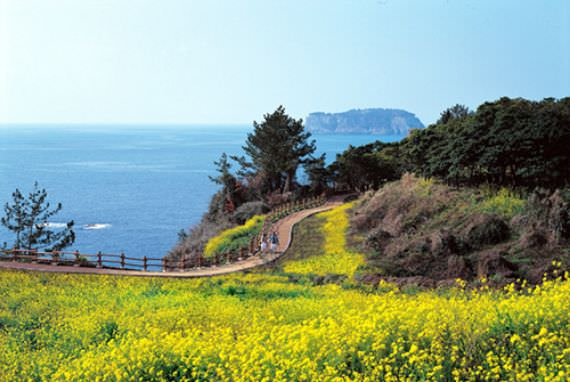 Festival Bunga Canola Jeju & Festival Udo Trumpet shell