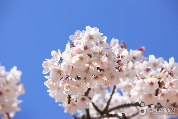 Festival Jeju Cherry Blossom