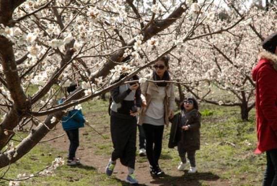 Festival Bunga Jeju Hueree Apricot