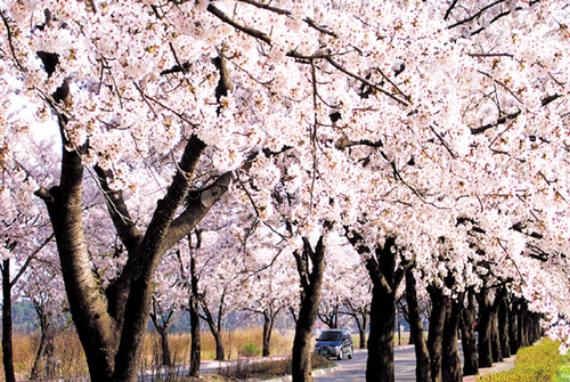 Festival Bunga Ceri Gyeongpo
