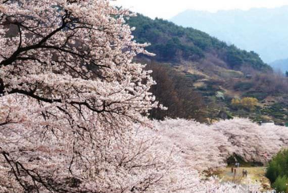 Festival Cherry Blossom Hwagae