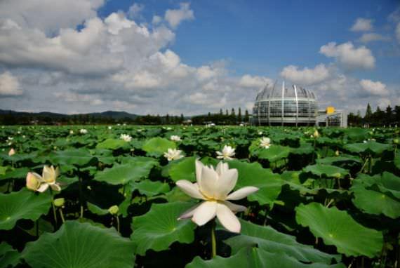 Festival Bunga Lotus Putih Muan