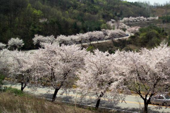 Festival Bunga Ceri Cheongpungho