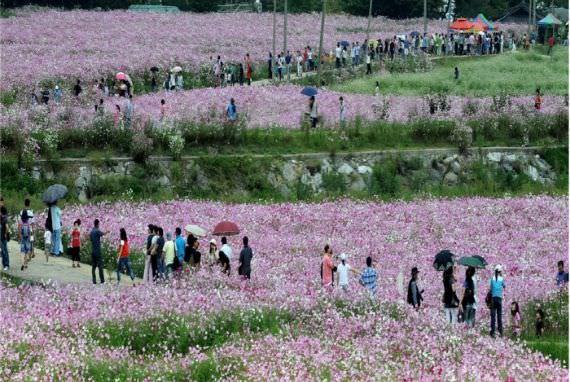 Festival Bunga Cosmos Bukcheon dan Buckwheat