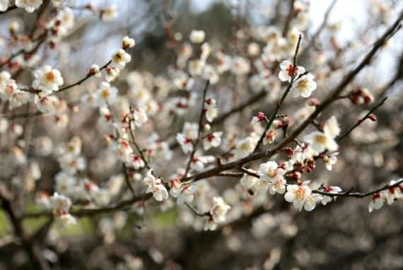 Festival Bunga Aprikot Hueree Jeju