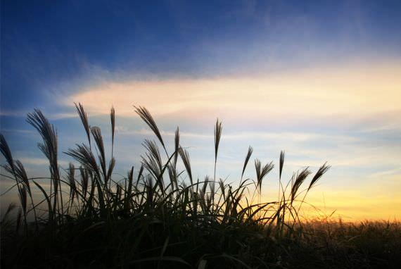Padang Silver Grass yang wajib dikunjungi Musim Gugur kali ini