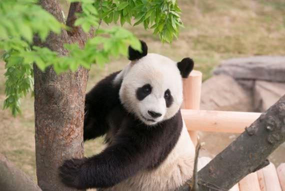 Mari datang melihat Panda di Everland