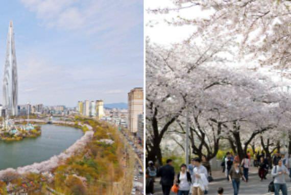 Festival Cherry Blossom Mulai di Seoul dan Jeju