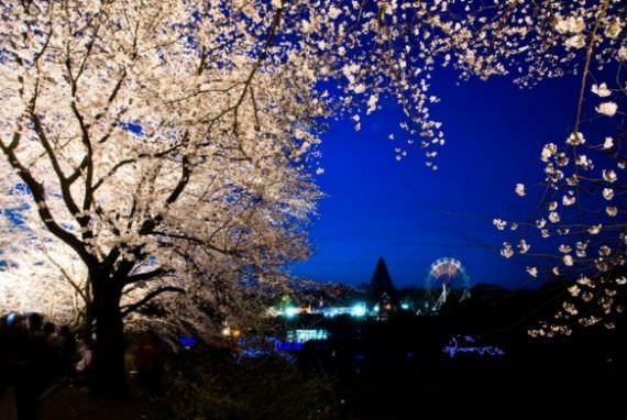 Menikmati Bunga Ceri di Kebun Binatang Jeonju