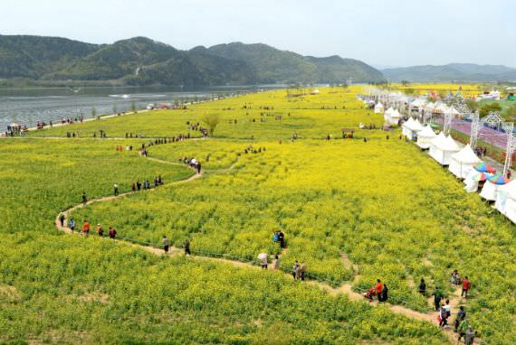 Festival Bunga Kanola Changnyeong Nakdonggang Youchae