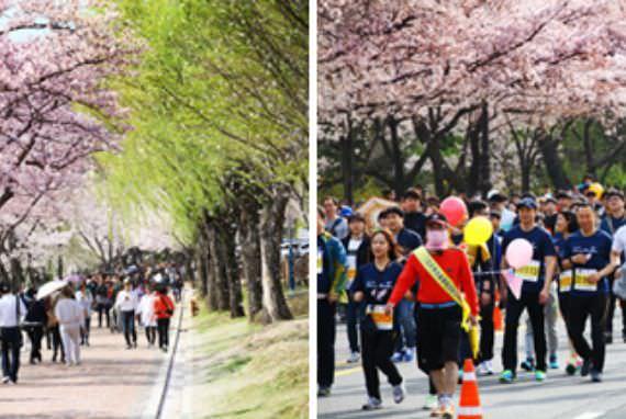 Festival & Maraton Bunga Sakura Gyeongju Dimulai