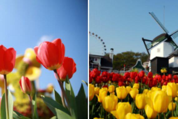 1,2 Juta Bunga Tulip akan Mengisi Everland untuk Festival Tulip