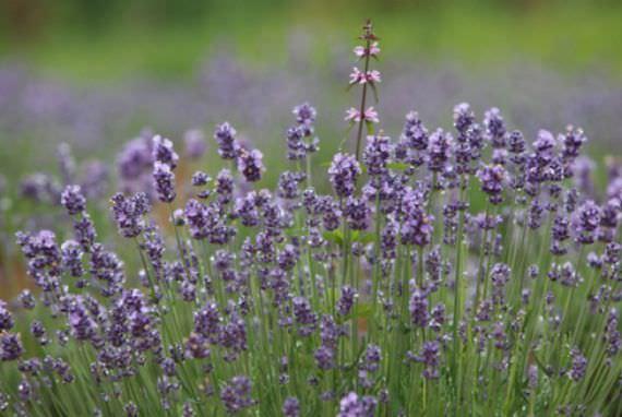 Festival Lavender Goseong