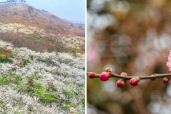 Festival Musim Semi Internasional Gwangyang Maehwa Resmi Digelar 17 Maret