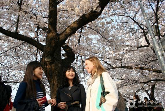 Festival Bunga Musim Semi Yeouido Yeongdeungpo
