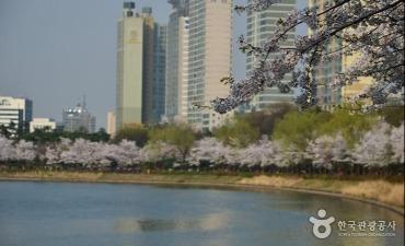Festival Cherry Blossom Danau Seokchon (석촌호수 벚꽃축제)