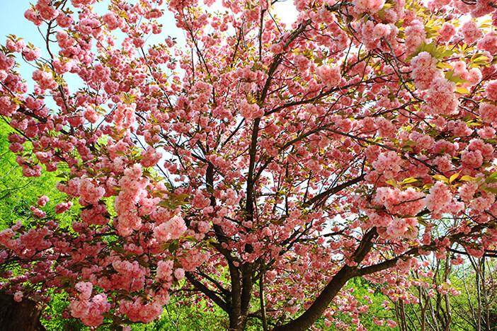 Unduh 50+ Gambar Bunga Sakura Jatuh Bergerak Gratis